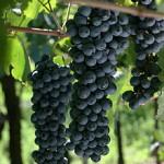 220px-Bonarda_Grape_by_lipecillo